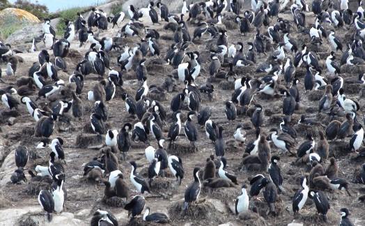 Cormorans impériaux