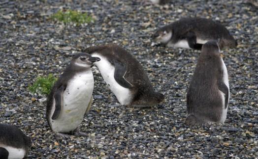 Pingouins de Magellan