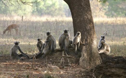 Famille de singes vervet