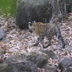 Gaurs et tigresen sursis dans la jungle