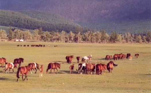 Chevaux mongols