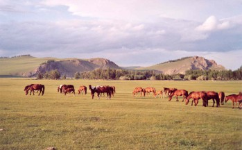 Chevaux sauvages, Mongolie