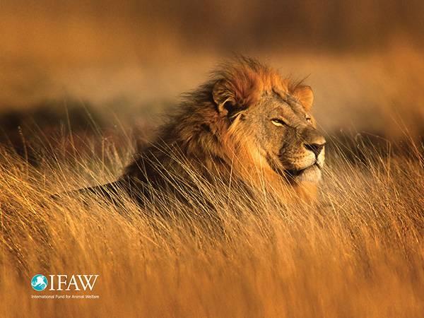 lion ifaw