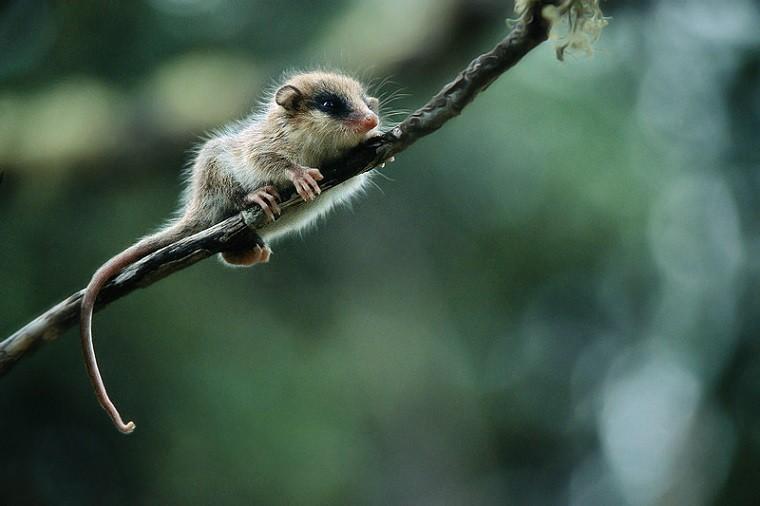 opossum austral