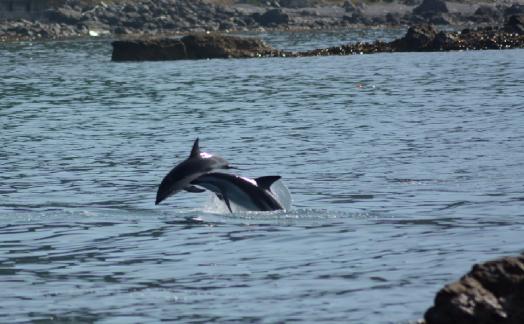 Flip dauphins Dusky
