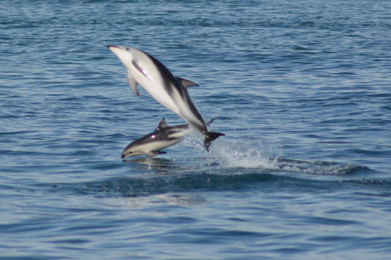 Flip dauphins Dusky baie Kaikoura