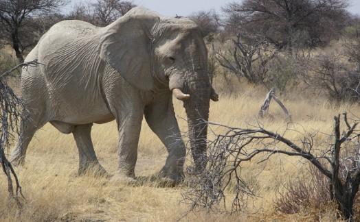 Eléphant réserve Etosha