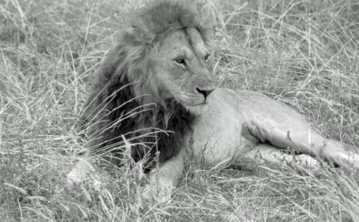 Lions du Tarangire
