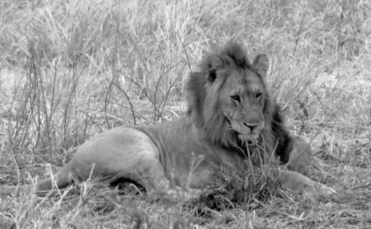 Lions Tarangire
