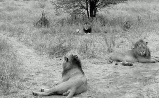 Les 4 frères lions